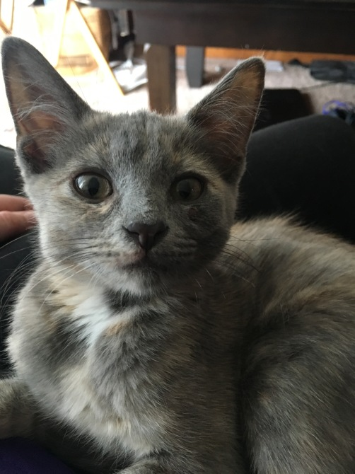 my dilute tortoiseshell kitten Carmella when I first got her. She's sitting on my lap and looking right at me.